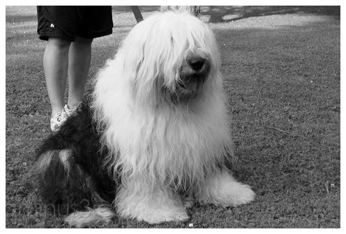 Patches, the sheep dog, at Hoopes Park, Auburn, NY