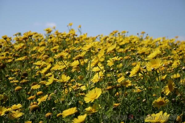 vast field of yellow marguerites
