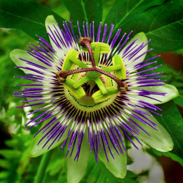 Passiflora incarnata, maypop, purple passionflower