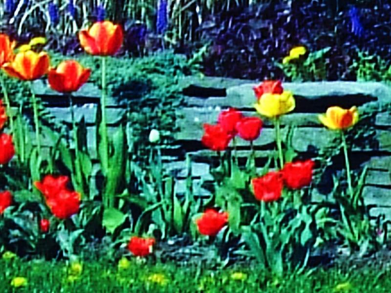 Tulips lining Deer Park Avenue