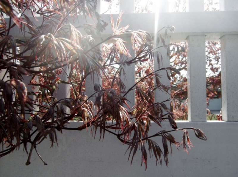 Red trees next to a white picket fence
