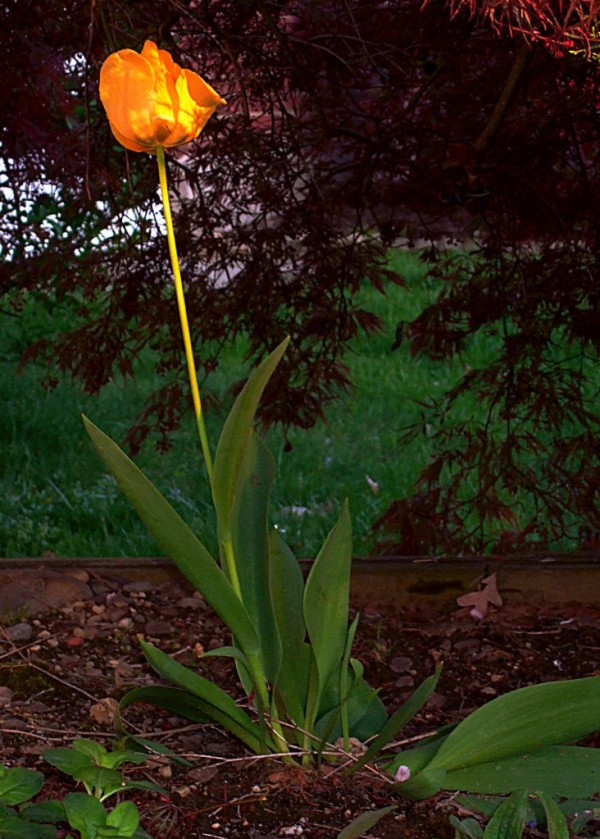 A Yellow Tulip
