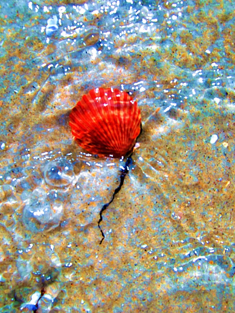 A Red Scallop Shell