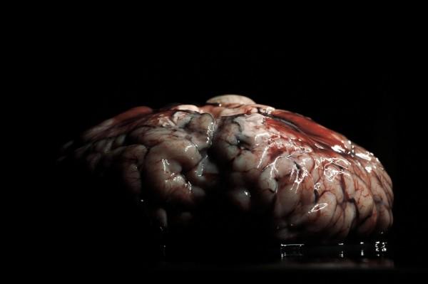 cow brain