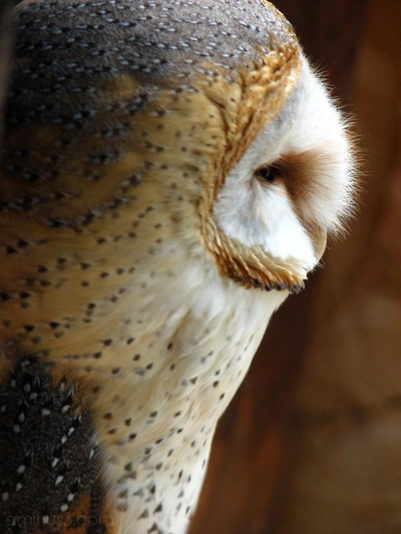 Barn owl at Kobe Kachoen