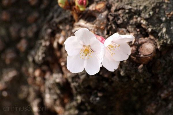 Cherry blossoms on a tree