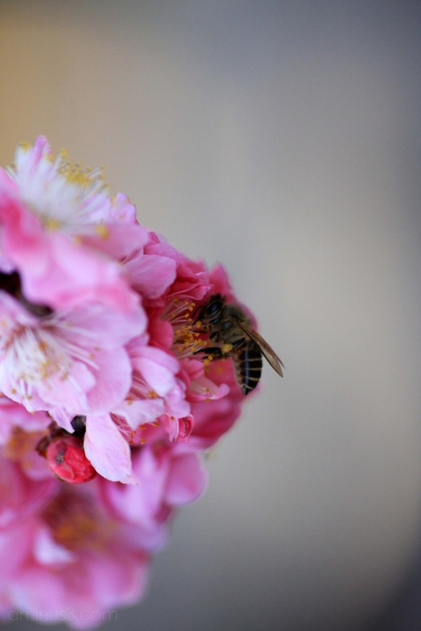 A bee in the plum blossoms