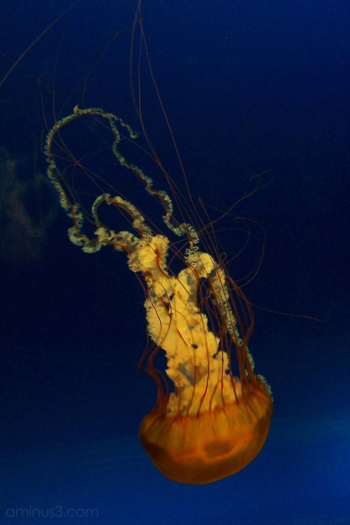 A jellyfish in the Osaka aquarium
