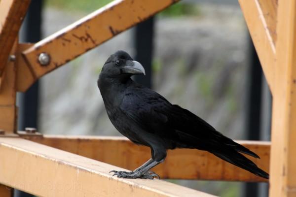 A crow on scaffolding...