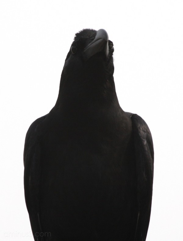 A crow against a white sky