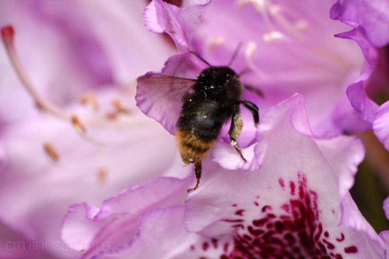 A bee in the rhodies