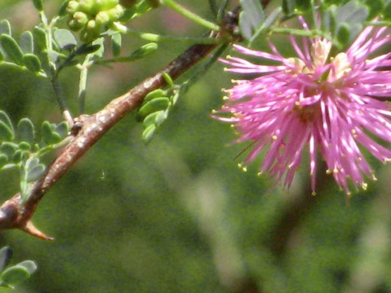 My Mimosa