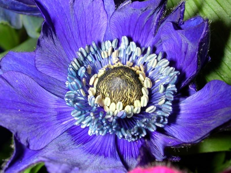 Anémone bleue