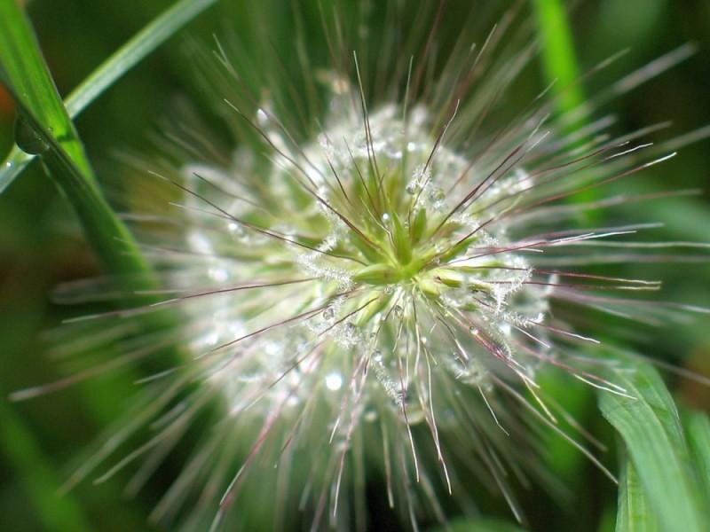 Penisetum sous la pluie