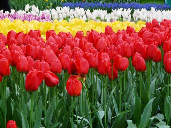Millefeuille de tulipes