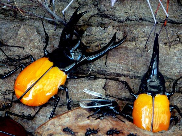 """""""Scarabés"""" orangés"""