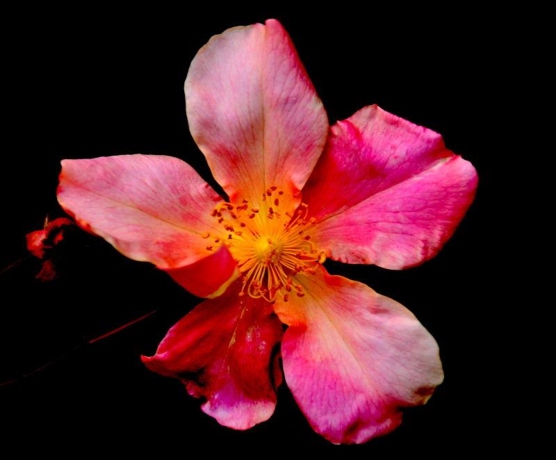 Rosessssssssss............