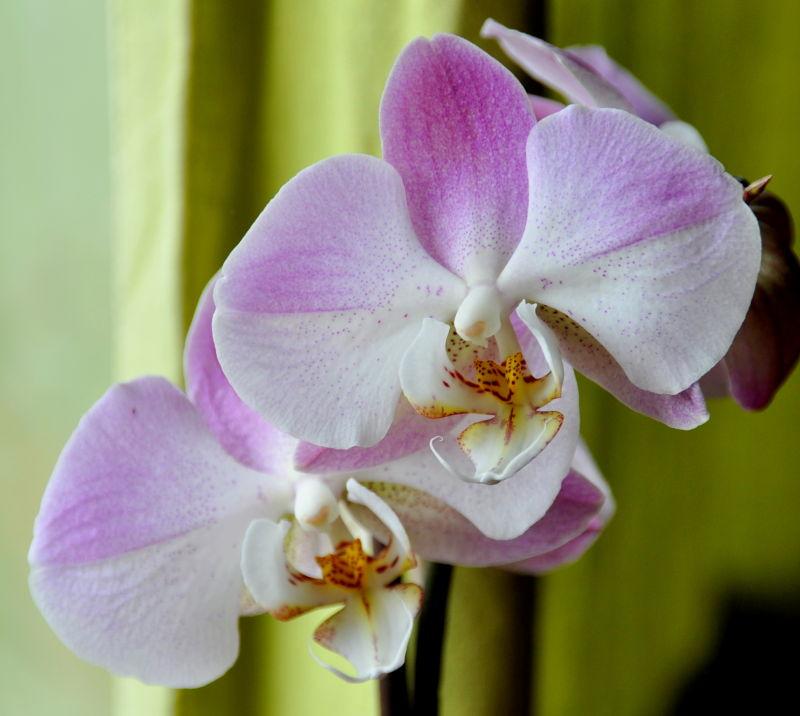 Phalaenopsis poudré de rose
