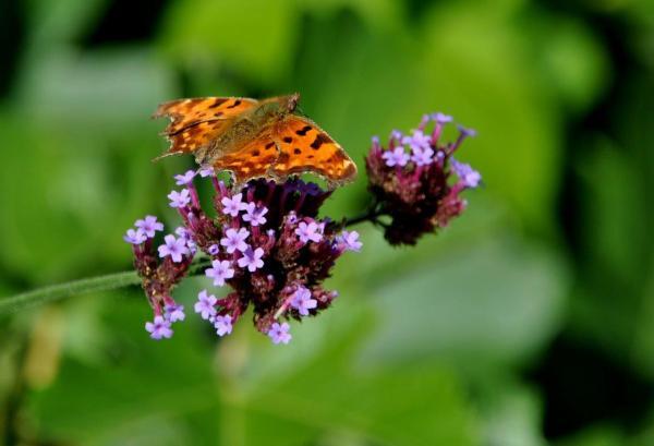 Papillon posé sur verveine