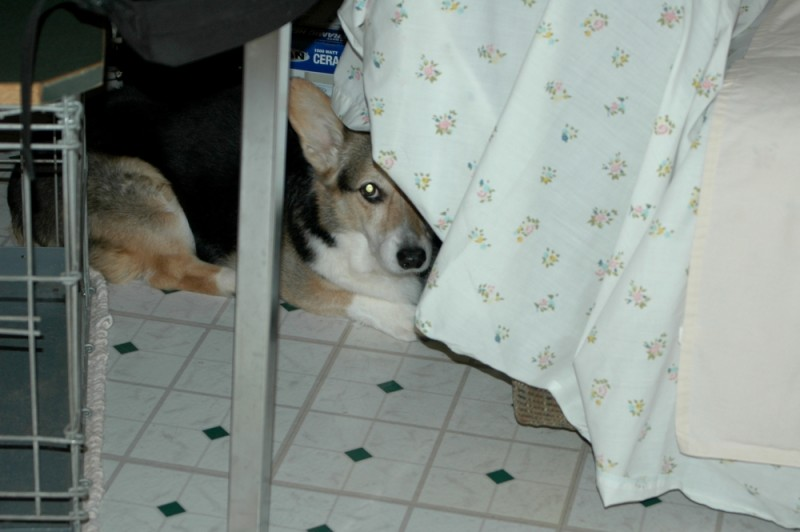 Hiding Corgie