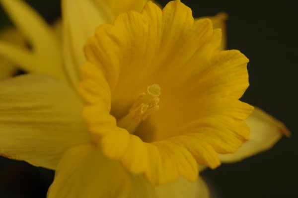 another daffodil....