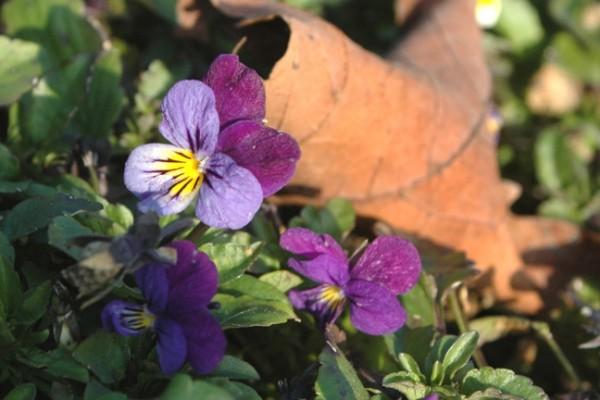 wild violet 3