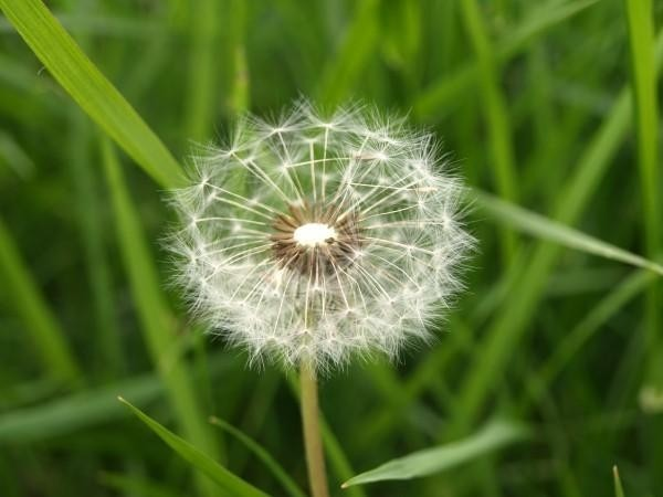 A dandelion thingy