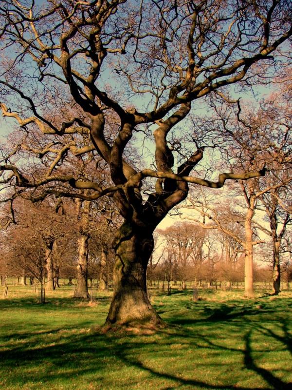 Old trees in Phoenix Park, Dublin