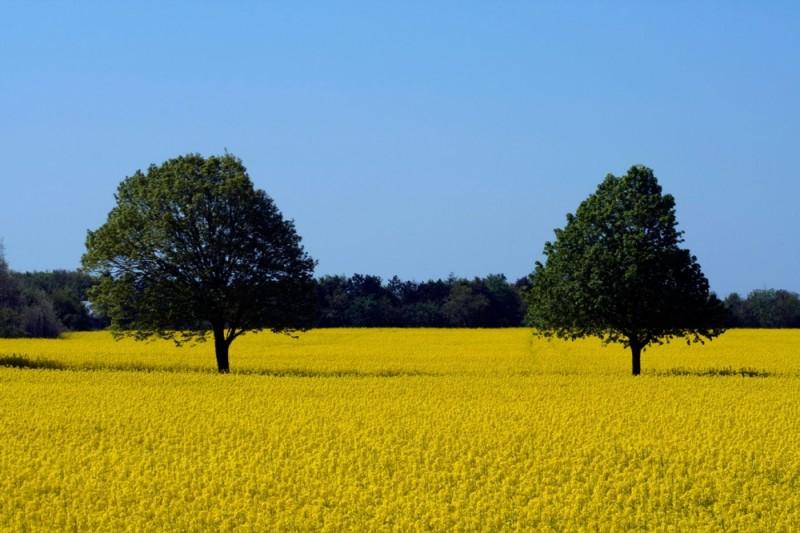 rapeseed field trees