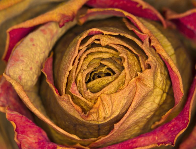 Decaying Rose Plant Amp Nature Photos Birthe S Photoblog