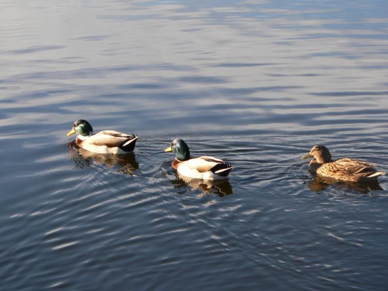 Three ducks swimming