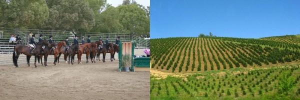 rows, trees, riders, horses