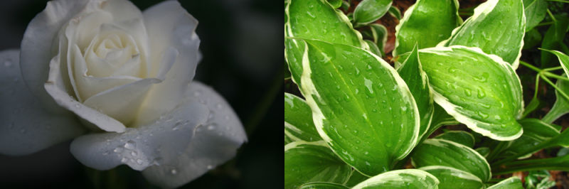 morning dew, water, rose, green plant