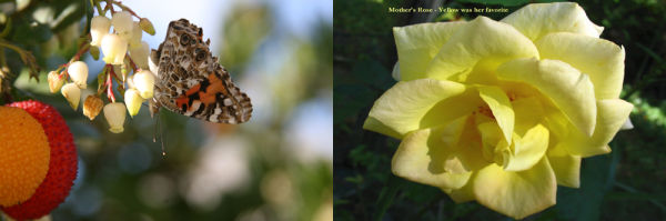 nature, flower, rose, plant, butterfly, favorite