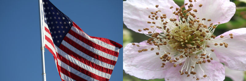hope, American Flag, Seeds, flower, flag