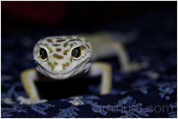 Remy the Leopard Gecko