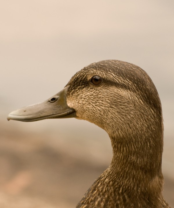 American Black Duck in profile