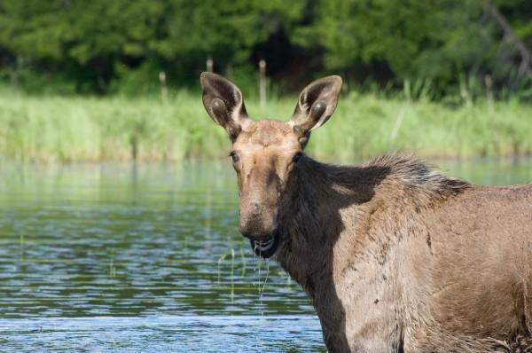 Moose on Little Crow Lake