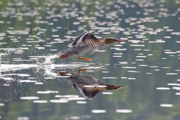 A Merganser takes to wing