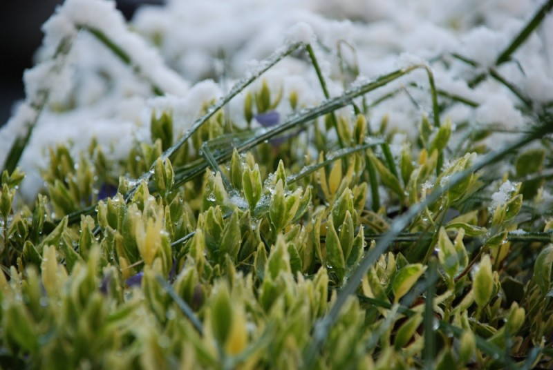 Plants emerge from the night time snowfall...