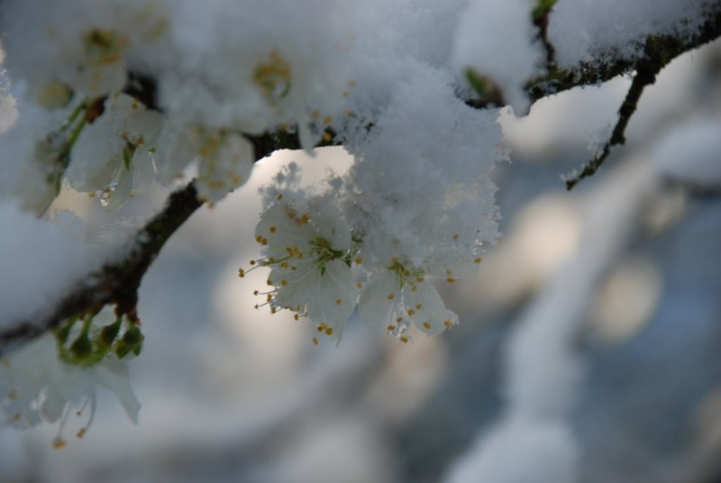 A small flower emerges from the snow-covered branc