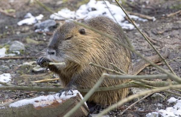 Beaver rat