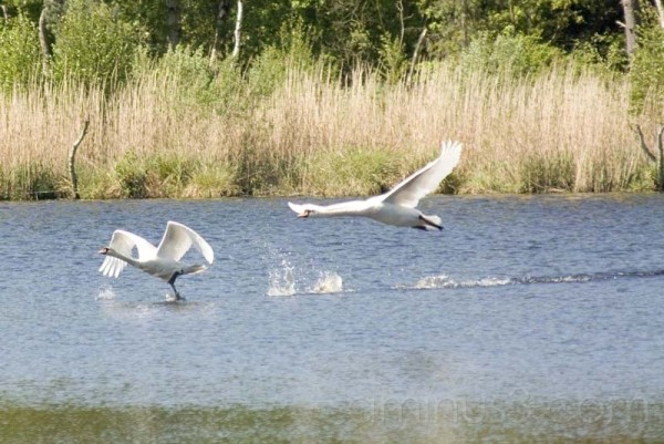 Swan song
