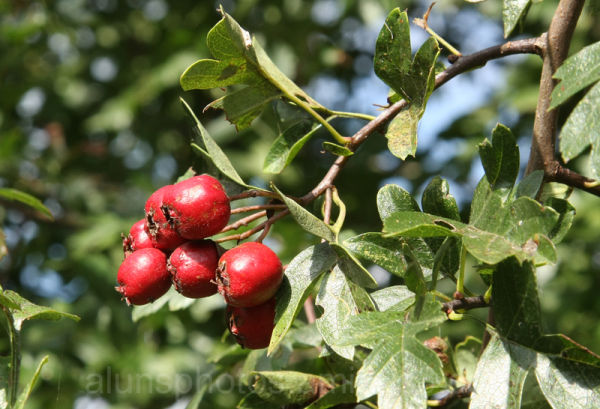 Red berry