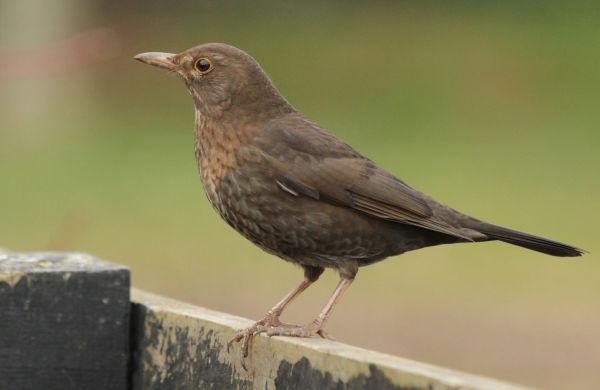 Mrs Black bird