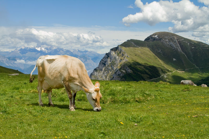 Milka cow 2