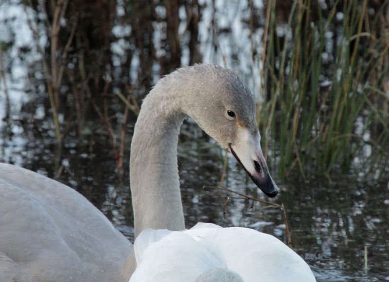 Young Whooper