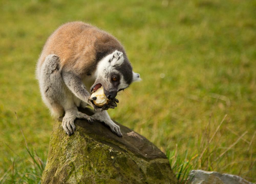 Lemur food time