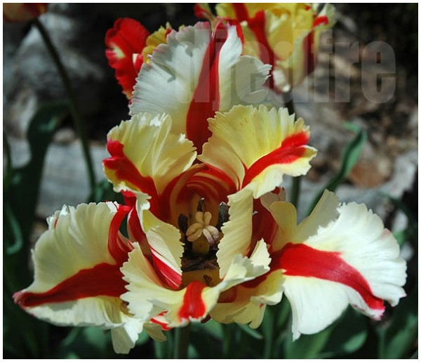 exotic tulip
