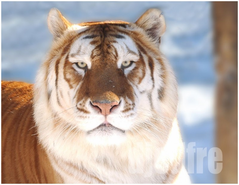 cinnamon tabby tiger aasam